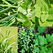 Identifying Culinary Herbs