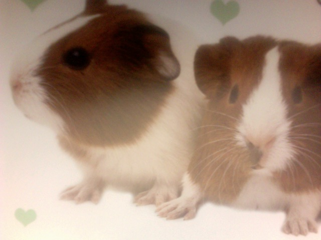 Guinea-Pig Breeds